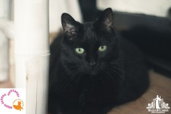 Natural light pet portrait of a black cat with green eyes