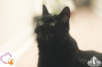 Natural light pet portrait of a black cat in a foster home