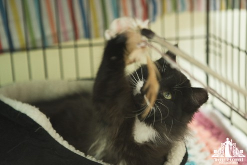 Fluffy black and white kitten playing with a feather toy at a pet adoption event