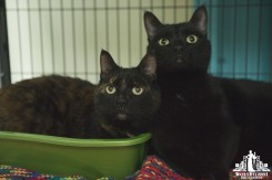 Mother and son cats with green eyes at a pet adoption event