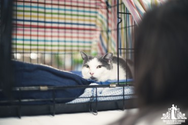 Grey and white cat in a cage waiting to be adopted at an event