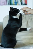 A tuxedo cat sitting on his haunches reaching for a treat being offered to him