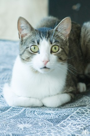 A tabby cat lying down staring at the camera