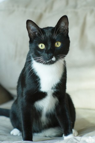 A tuxedo cat with green eyes staring at the camera