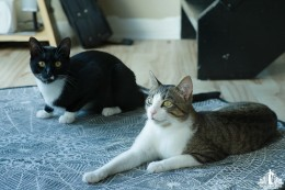 A tabby cat with green eyes and a tuxedo cat with green eyes sitting together on a blue and white rug