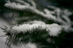 Moody image of snow collecting on pine fir trees