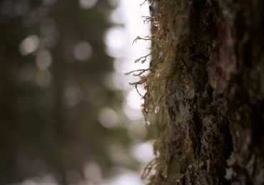 Image of frozen droplets of water hanging from the moss covering the trunk of a tree on Dog Mountain
