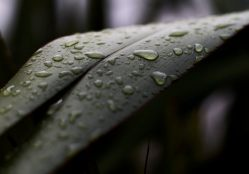 Close up image of raindrops on flax leaves on the coast at Pauatahanui Inlet in Wellington