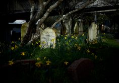 Sunlight dappling across old tombstones with daffodils blooming in the grass at Bolton St Cemetery