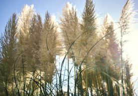 Image of the sun shining through backlit pampas grass